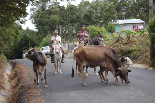 My neighbors in Boquete move their cows from up the road to grazing across the river