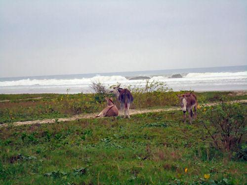 Donkeys in residence in Olon