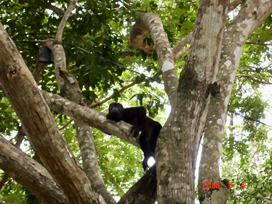 Howler Monkeys live free in the trees at La Playita in the Azuaro of Panama