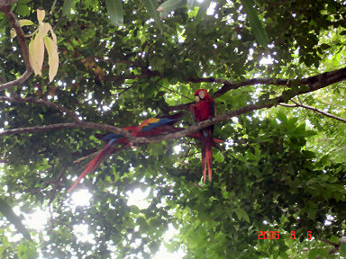 Free flying Macaws live at LaPlayita too