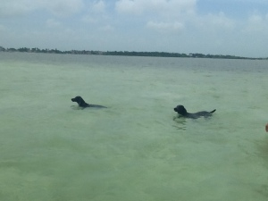 Charlie's 2 Retrievers went out on the boat with us and joined us for a swim on the sandbar in Islamorada