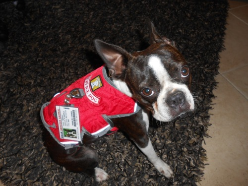 She now has her Service Dog rating, complete with vest and photo I.D.badge