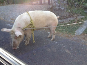 pig on the road
